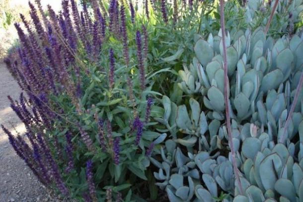 plant of the month salvia nemorosa caradonna garden house brighton. Black Bedroom Furniture Sets. Home Design Ideas