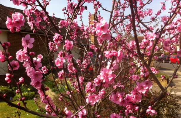 Our Favourite Spring Flowering Shrubs And Trees Garden House Brighton
